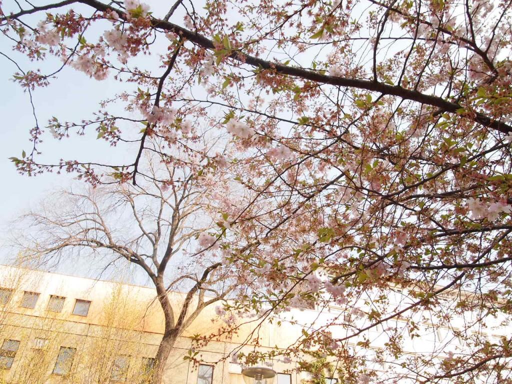 P3290432 1024x768 美しいドイツの桜!意外な場所に咲くベルリンの桜とは?