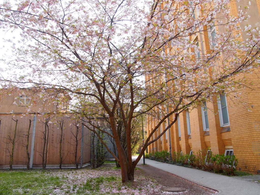 P3290443 1024x768 美しいドイツの桜!意外な場所に咲くベルリンの桜とは?