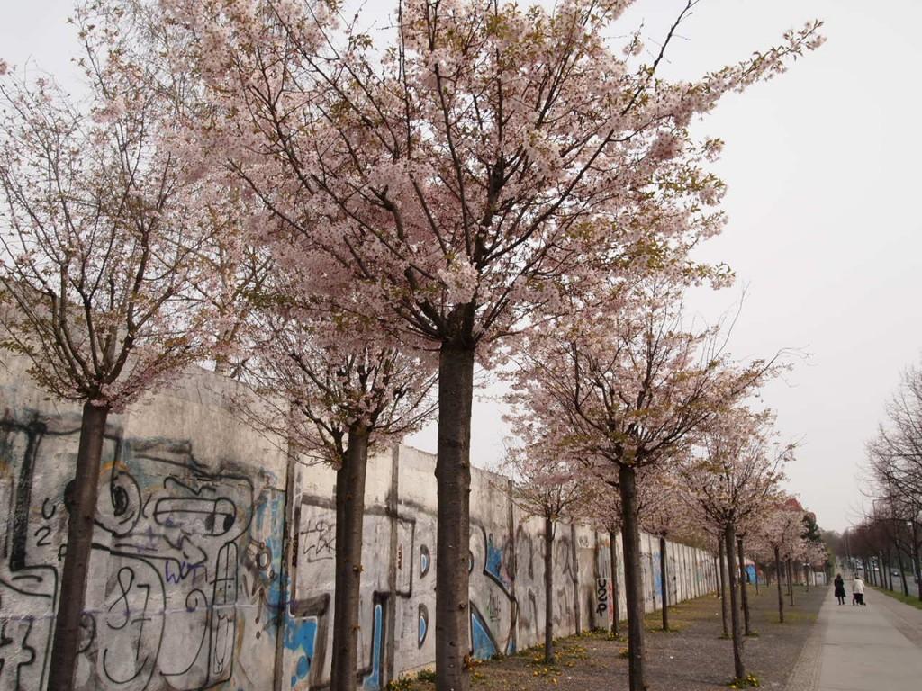 P4010627 1024x768 美しいドイツの桜!意外な場所に咲くベルリンの桜とは?