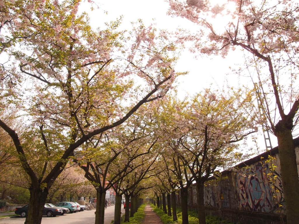 P4010652 1024x768 美しいドイツの桜!意外な場所に咲くベルリンの桜とは?