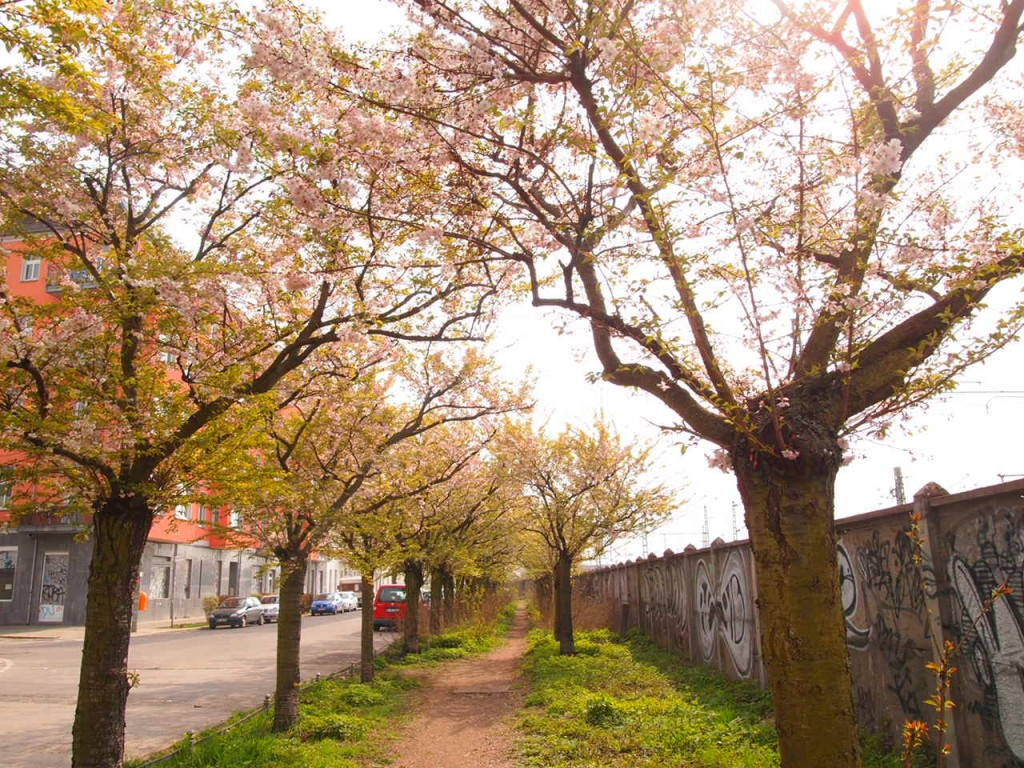 P4010662 1024x768 美しいドイツの桜!意外な場所に咲くベルリンの桜とは?