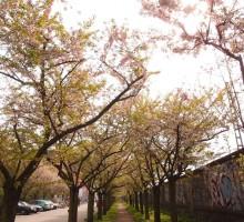 美しいドイツの桜!意外な場所に咲くベルリンの桜とは?